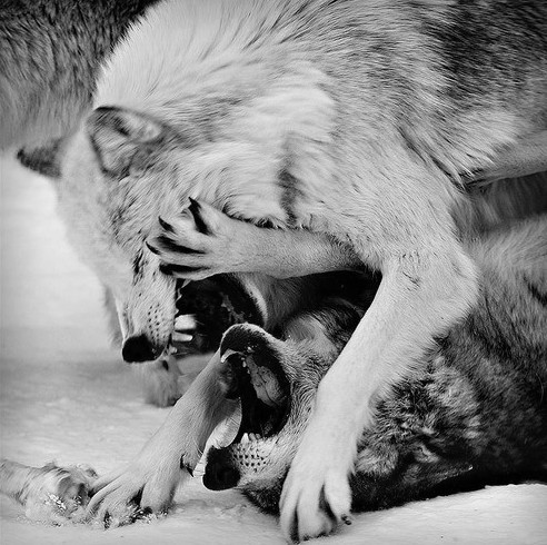 black and white  wolf  wolvesWhite Wolf And Black Wolf Fighting