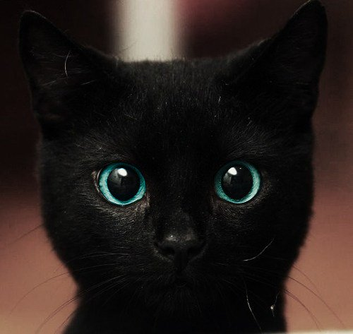 black, black cat, blue, cat, cute