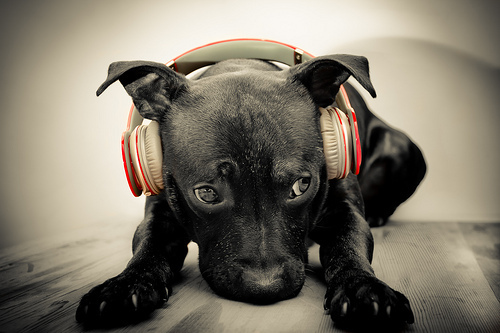 black lab, cute, dog, dogs, headphone