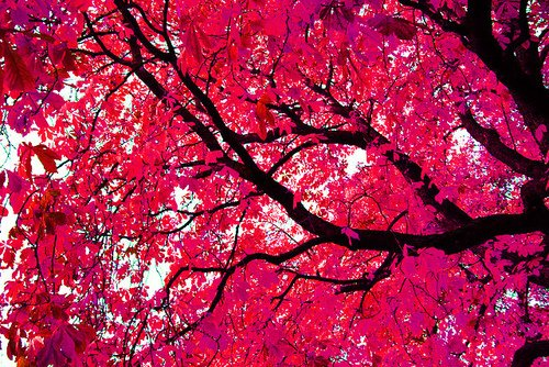 blossom, pink, red, sky, tree