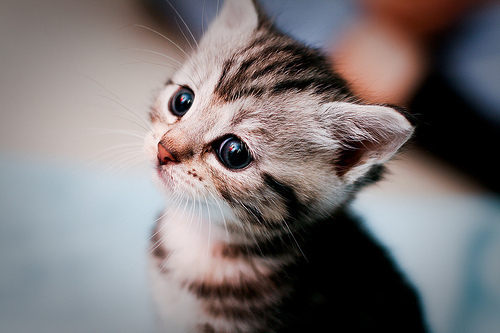 cat, cute, eyes