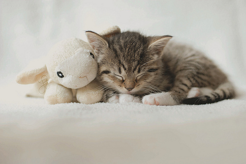 cat, cute, kitty, little, pet