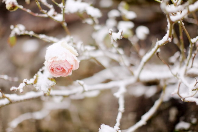 flower, other, rose, winter
