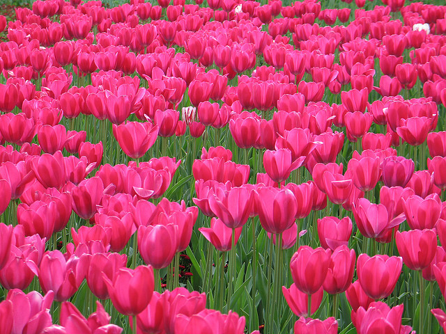 flowers, nature, photography, pink, tulips