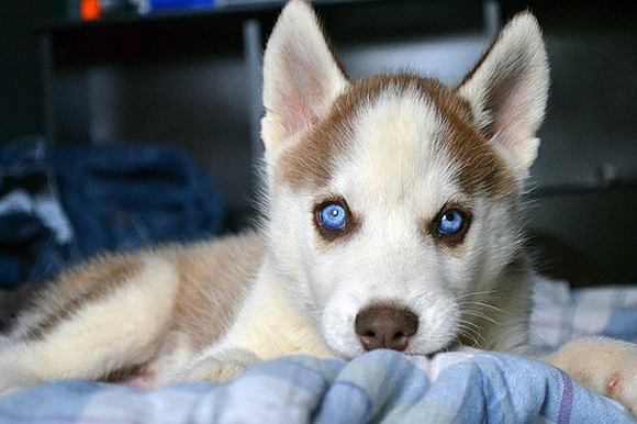 adorable, animals, beautiful, blue eyes, cute