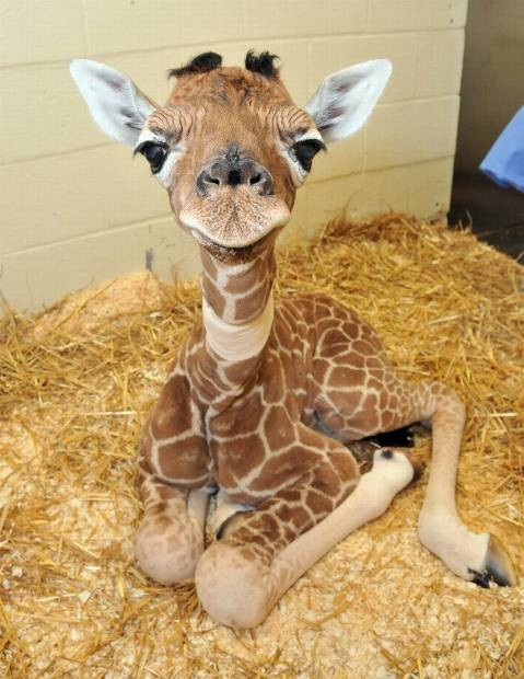adorable, animals, cute, giraffe