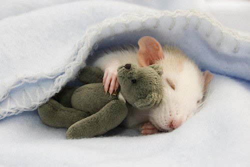 adorable, awesome, cute, mouse, rat