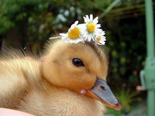 adorable, baby, bird, cute, daisies