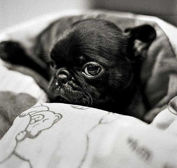 adorable, baby doggie, cute, dog, pug