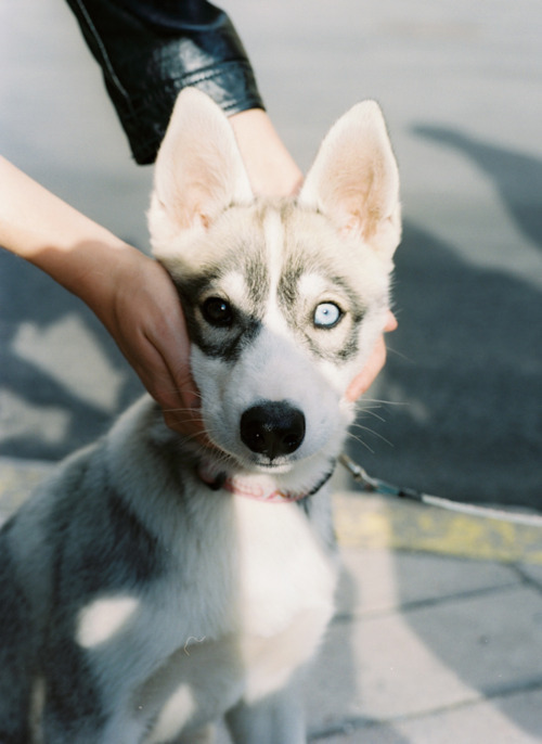 adorable, blue eye, brown eye, cute, dog