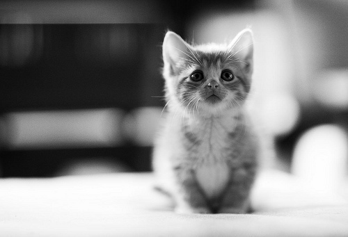 adorable, cat, cute, heart, kitten