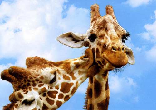 adorable, clouds, cute, giraffe, giraffes, kiss, sky