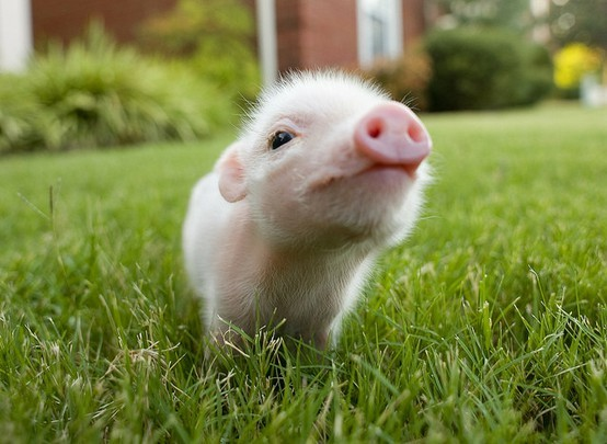 adorable, cute, grass, little, love, piggie, piglet, pink, precious, teacup pig