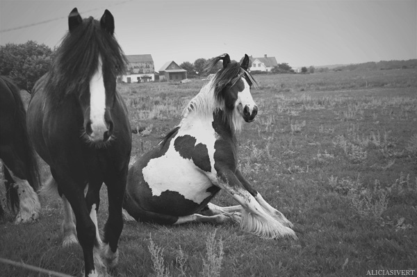 alicia sivertsson, aliciasivert, animal, animals, beautiful, black and white, foal, foals, horse, horses, irish cob, irish cobs, ponies, pony, pretty, sitting, young