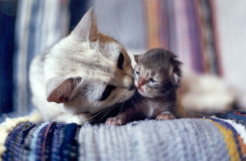 amaizing, animals, cat, cats, cute, kitten, mommy, mommy cat, newborn kitten, nyalxd, pictures, small, sweet, white