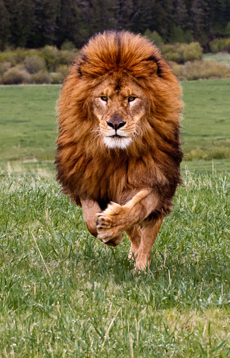 amazing, beauty, cute, hair, lion, nature, pretty, running, wild