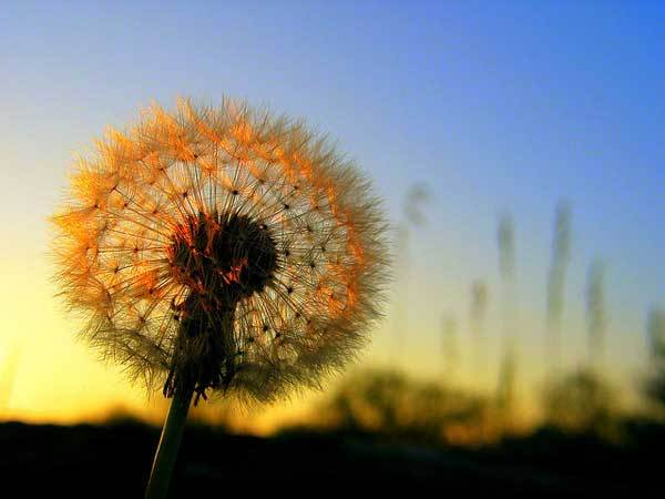 amazing, colorful, dandelion, flower, lovely