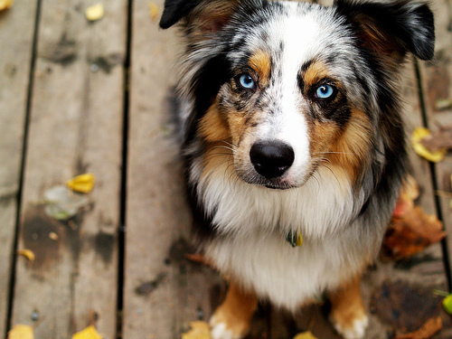 animal, animals, blue eyes, cute, dog