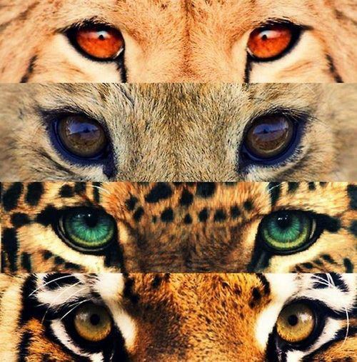 animal, animals, brown, cheetah, eyes, gepard, green, lion, red, tiger, yellow