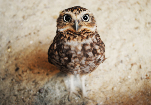 animal, awn, beautifull, cute, eyes, owl, wonderfull