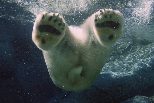 animal, bear, paws, photography, polar bear