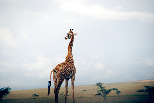 animal, beautiful, big, giraffe, landscape