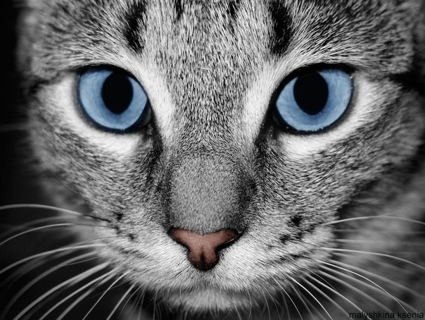 animal, beautiful, black and white, blue, cat