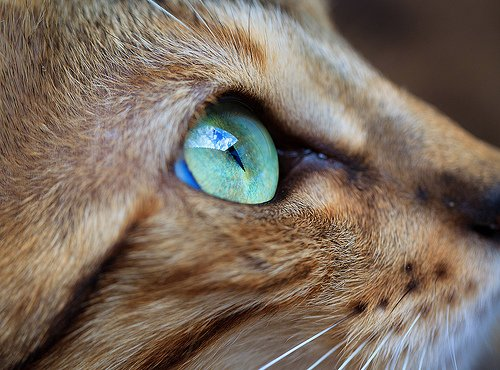 animal, beautiful, blue, cat, eye  image 422770 on Favim.com