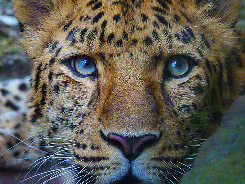 animal, beautiful, blue eyes, cat, cute, eyes, fur, leopard, leopard print, same shit, wild
