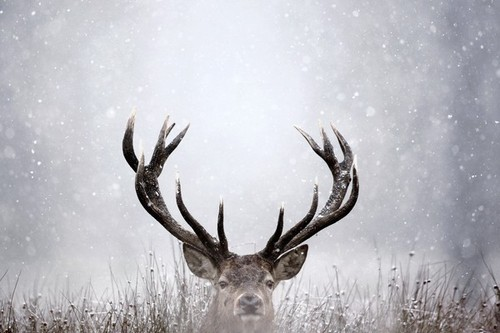 animal, beautiful, cute, deer, elk