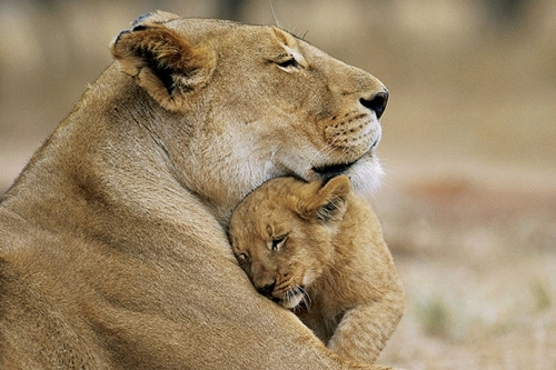 animal, beautiful, cute, lion, photo