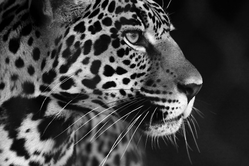 animal, black and white, cheetah, dope, tiger