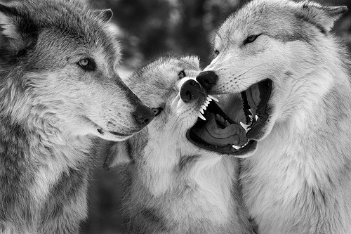 animal, black and white, nature, wolf, wolves