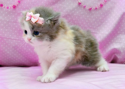 animal, cat, cute, girly, kawaii, kitten, kitty, lady, pastel pink, pink, pretty