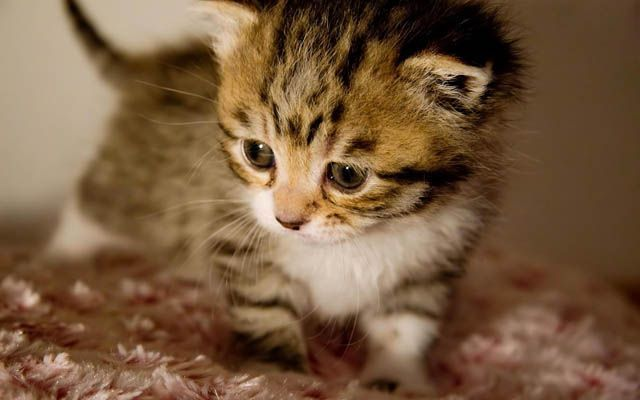 animal, cat, cute, kitten