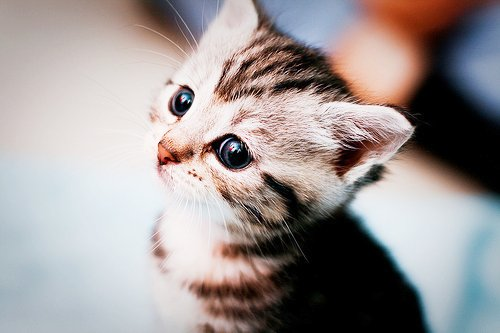 animal, cat, cute, kitten, lovely