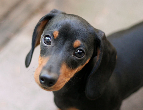 animals, black and tan, cute, dachshund, dog
