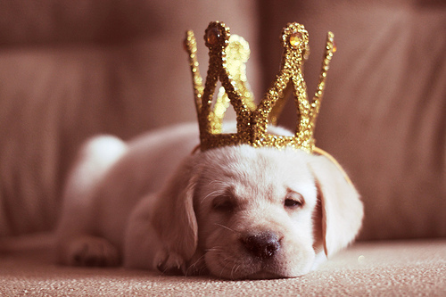 animals, cute, dog, dogs, king, puppy, sleep