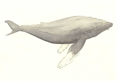 art, drawing, humpback, humpback whale, pencil, watercolour, whale