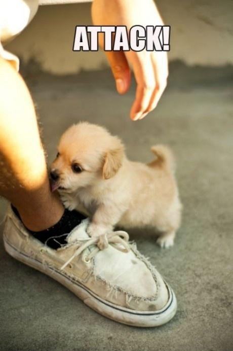 attack, cute, golden retriever puppy, puppy