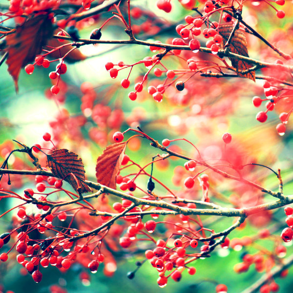 autumn, berries, leaves, photography, red