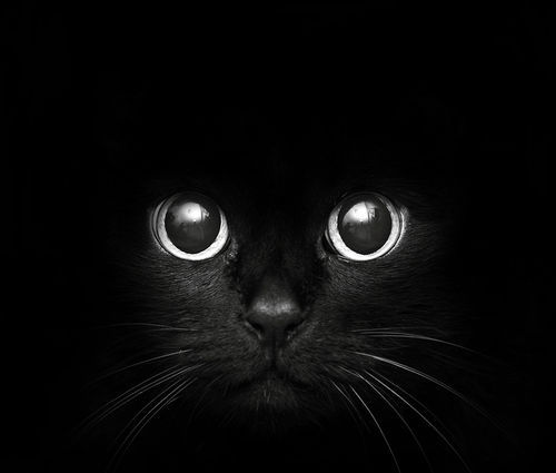 aww, big, black, black cat, capture, cat, cute, dark, eyes, kitten, photography