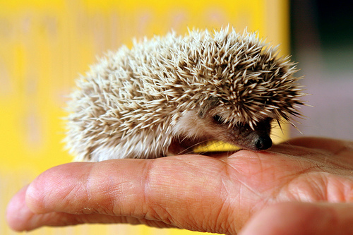 awwwwwww, cute, hedgehog, photography