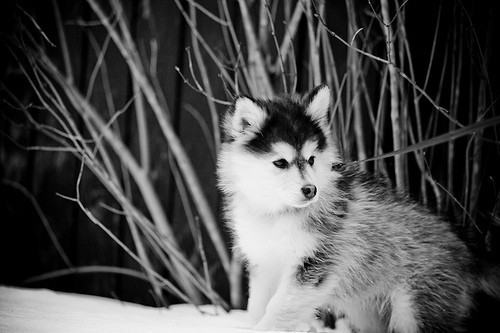 babie, babies, baby, beautiful, cute, dog, doggy, husky, husky dogs, photography, pretty, pupies, puppy, siberian, snow, snowflakes, vintage, winter