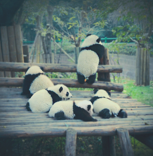 baby panda, cute, panda, pandas, photography