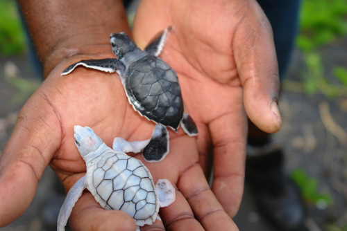 Cute baby sea turtles in the water - photo#26