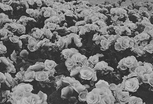 b&w, black & white, black and white, cute, flower, flowers, garden, nature, photo, photography, roses