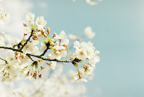 beauiful, blue, flowers, nature, photography, sky, spring, tree, white