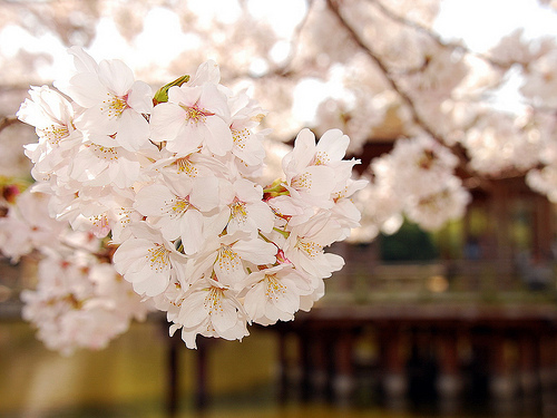beautiful, cherry blossom, flower, japan, korea, pink, tree