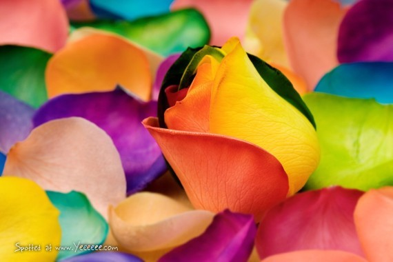 beautiful, colorful, flower, photography, rainbow